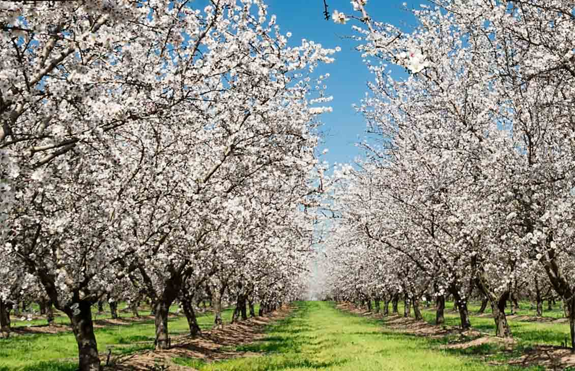 Photo of a field of almond trees.